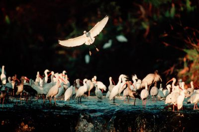 Photo: Egrets and ibis at the Florida Panther NWR.