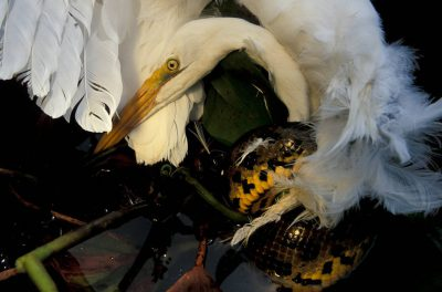 Photo: An anaconda squeezes an egret in Brazil's Pantanal.