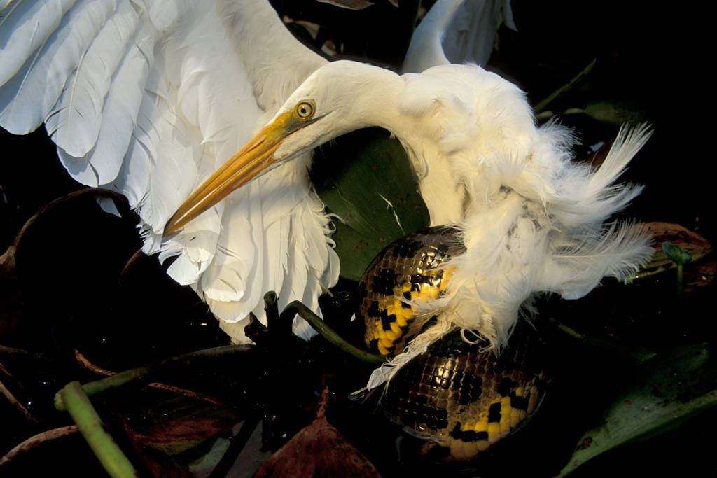Photo: An anaconda kills a great egret in a flooded field in the Brazilian Pantanal, the world's largest freshwater marsh.