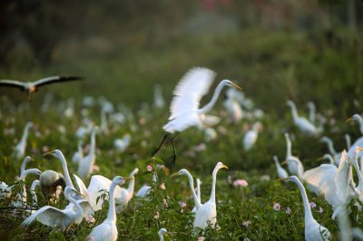Photo: Egrets and wood storks feed in the marshes of Brazil's Pantanal, along the northern Transpantaniera Highway.