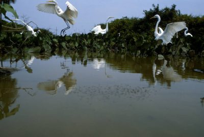 Photo: Egrets feed in the marshy near Pouso Alegre ranch in Brazil's Pantanal.