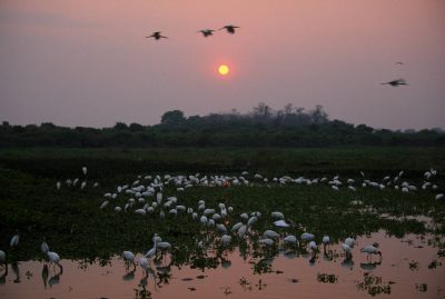 Photo: Egrets and various wading birds forage in the marshes of Brazil's Pantanal region.