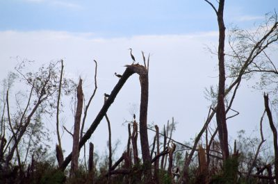 Photo: Snapped willow trunks are perches for egrets and ibis that survived hurricane Andrew in the Atchafalaya river basin in Louisiana.