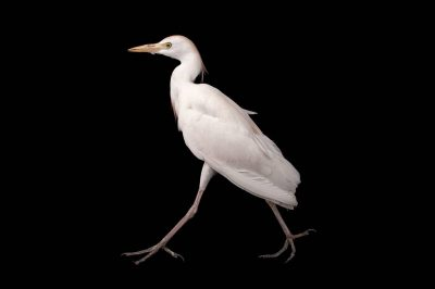Picture of a western cattle egret (Bubulcus ibis) at the Columbus Zoo.