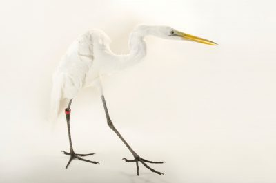 A great egret (Ardea alba) at the Caldwell Zoo in Tyler, Texas.