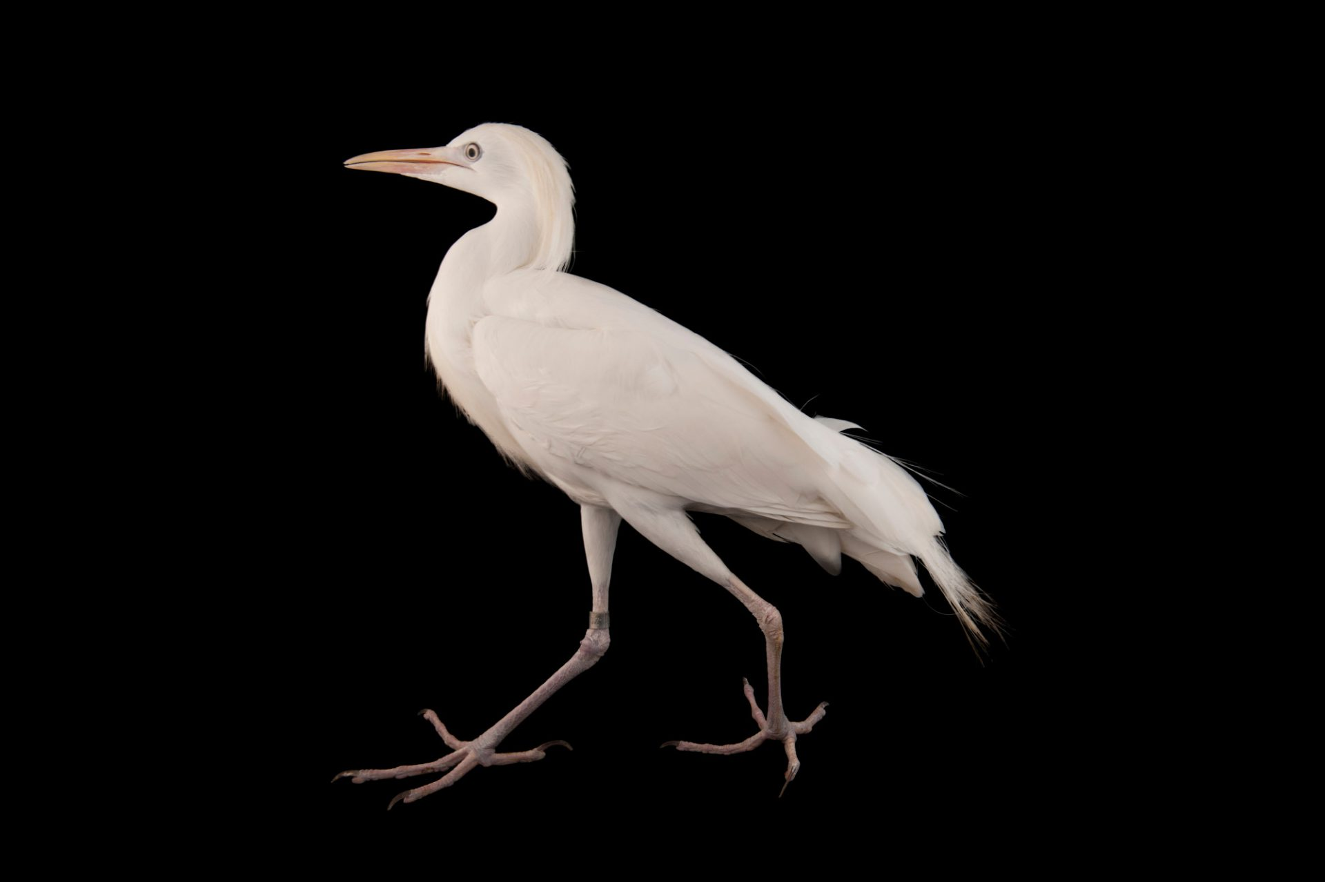 Picture of a western cattle egret (Bubulcus ibis) at Omaha's Henry Doorly Zoo and Aquarium, Omaha, Nebraska.