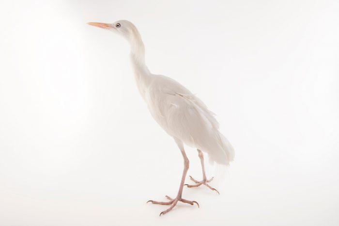 Picture of a western cattle egret (Bubulcus ibis) at Omaha's Henry Doorly Zoo and Aquarium, Omaha, Nebraska.