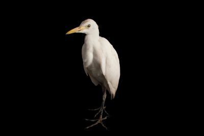 Picture of a western cattle egret, Bubulcus ibis, at Goose Creek Wildlife Sanctuary,Inc., a wildlife rescue center in Tallahassee, Florida.
