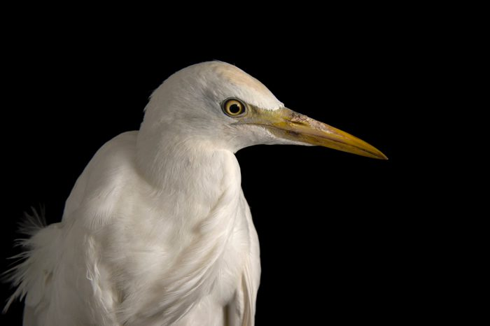 Picture of a western cattle egret (Bubulcus ibis) at Goose Creek Wildlife Sanctuary,Inc., a wildlife rescue center in Tallahassee, Florida.