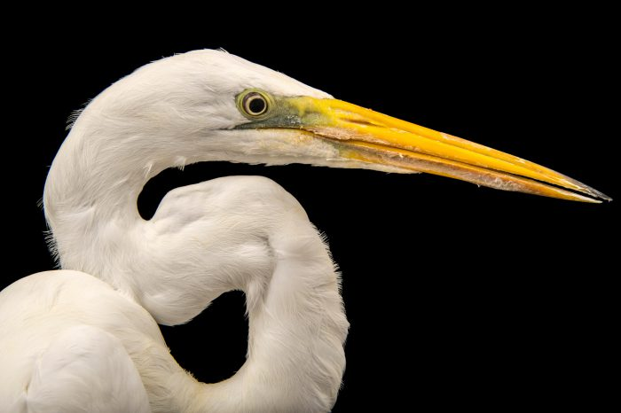 Picture of an American great egret (Ardea alba egretta) at the Saint Louis Zoo.