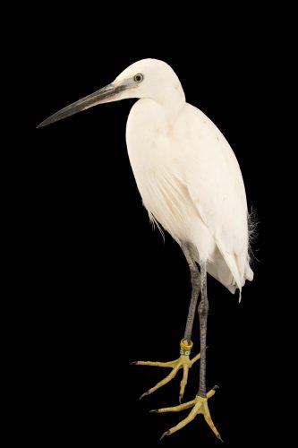 Photo: A little egret (Egretta garzetta) at the Plzen Zoo.