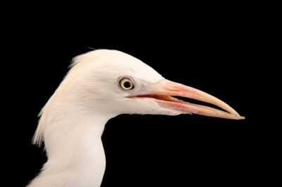 Photo: A cattle egret (Bubulcus ibis ibis) named DeeDee at Rogers Wildlife Rehabilitation in Hutchins, TX.