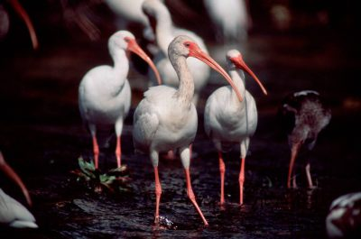 Photo: White ibis at the Ding Darling NWR in Florida.
