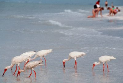Photo: White ibis and sea shell seekers on Sanibel Island, Florida.