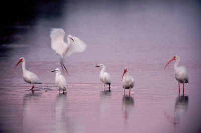 Photo: White ibis and snowy egrets in the Ding Darling NWR.