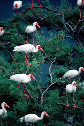 Photo: White ibis perched in a tree near Trinity Bay, Texas.