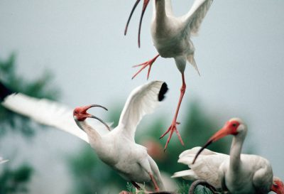 Photo: White ibis perched in a tree near Trinity Bay, Texas.