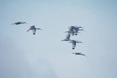 Photo: White ibis in flight over Trinity Bay, Texas.