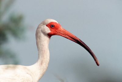 Photo: White ibis at Trinity Bay, Texas.