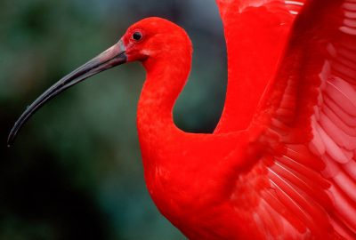 Photo: Scarlet ibis (captive.)