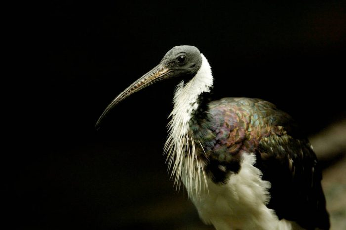 Photo: A straw-necked ibis from the Omaha Zoo.