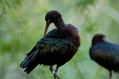 Photo: Puna ibis at the Sedgwick County Zoo.