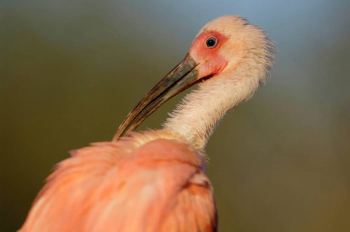 Picture of a scarlet ibis (Eudocimus ruber) at the Sedgwick County Zoo.