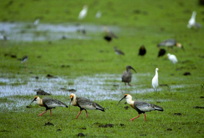 Photo: Buff-necked ibis (Theristicus caudatus) forage in Brazil's Pantanal region.