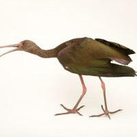 Picture of a white-faced ibis (Plegadis chihi) named Gonzo at The Living Desert.