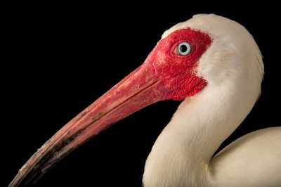 Picture of an American white ibis (Eudocimus albus) at the Caldwell Zoo in Tyler, Texas.