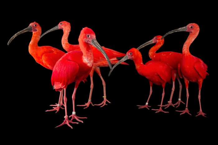 Picture of a flock of scarlet ibis (Eudocimus ruber) at the Caldwell Zoo in Tyler, Texas.