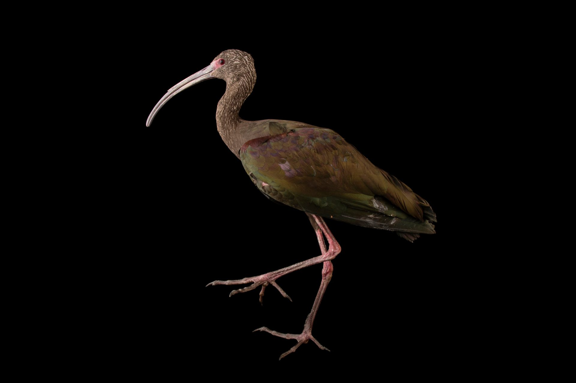 Picture of a white-faced ibis (Plegadis chihi) named Gonzo at The Living Desert in Palm Desert, California.