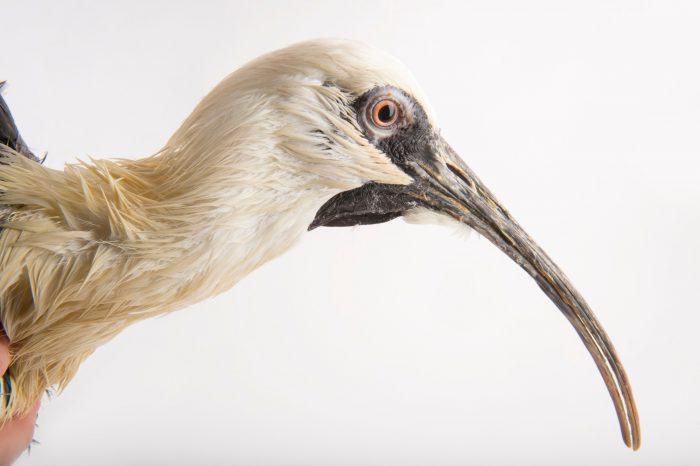 A black-faced ibis (Theristicus melanopis) at the Cincinnati Zoo.