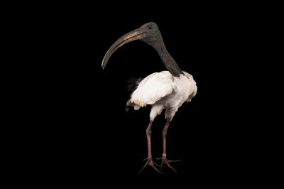 An African sacred ibis (Threskiornis aethiopicus) at the Columbus Zoo.