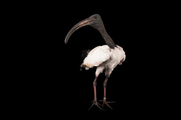 An African sacred ibis (Threskiornis aethiopicus) at the Columbus Zoo.