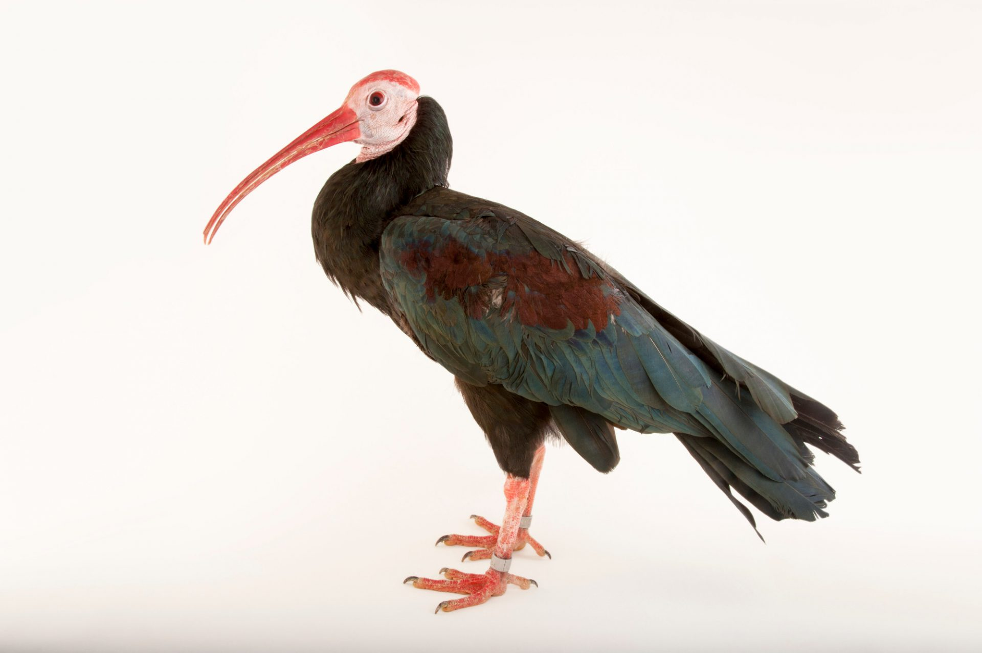 A vulnerable Southern bald ibis (Geronticus calvus) at the Houston Zoo.
