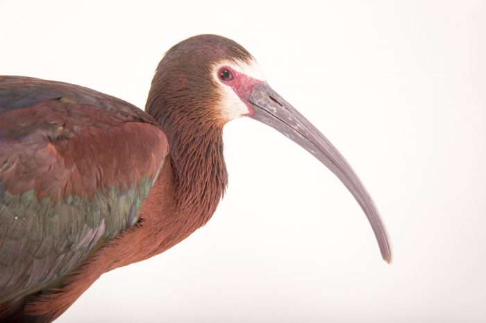 Picture of a female white-faced ibis (Plegadis chihi) at Tracy Aviary.