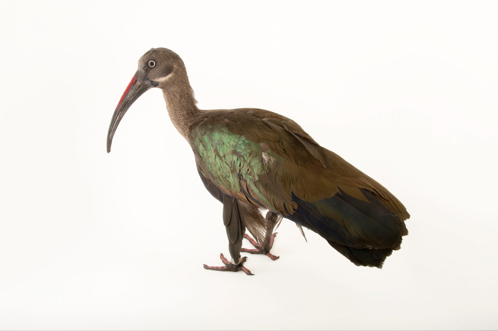 Hadada or Hadeda Ibis (Bostrychia hagedash brevirostris) at the Henry Doorly Zoo and Aquarium.