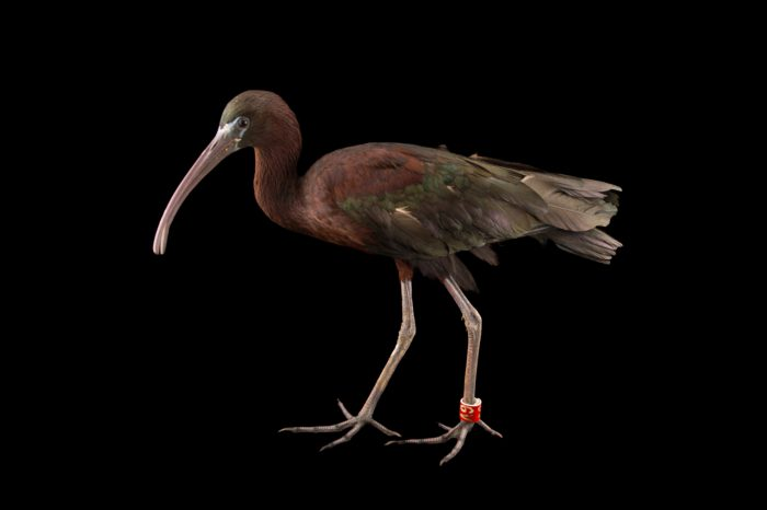 Photo: Glossy ibis (Plegadis falcinellus) from the Budapest Zoo.