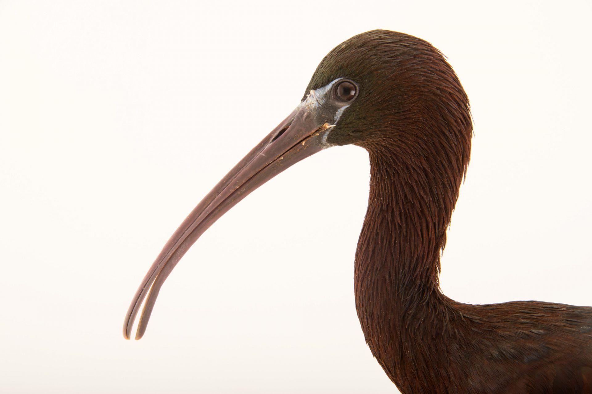 Photo: Glossy ibis (Plegadis falcinellus) from the Budapest Zoo.