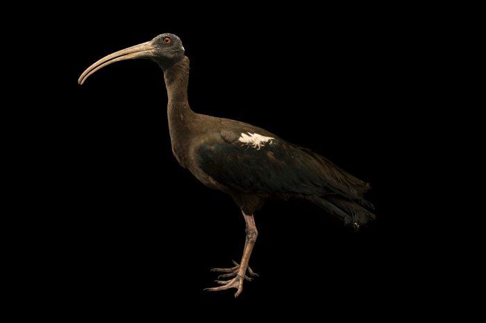 Photo: Black ibis (Pseudibis papillosa) at the Ahmedabad Zoo