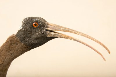 Photo: Black ibis (Pseudibis papillosa) at the Ahmedabad Zoo.