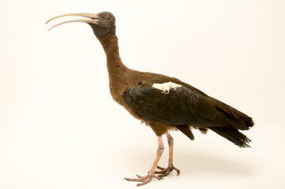 Photo: Black ibis (Pseudibis papillosa) at the Ahmedabad Zoo.
