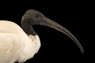 Photo: An Australian white ibis (Threskiornis molucca) at the Plzen Zoo.