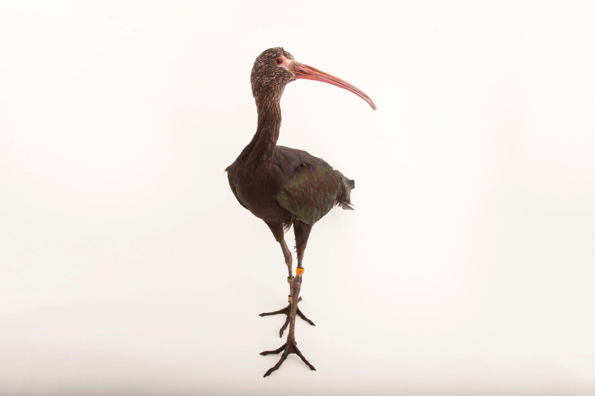 A puna ibis (Plegadis ridgwayi) at the Sedgwick County Zoo in Wichita, Kansas.