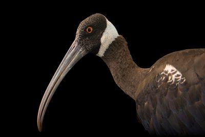 Photo: A critically endangered white-shouldered ibis (Pseudibis davisoni) at Phnom Tamao Wildlife Rescue Center - Wildlife Alliance.