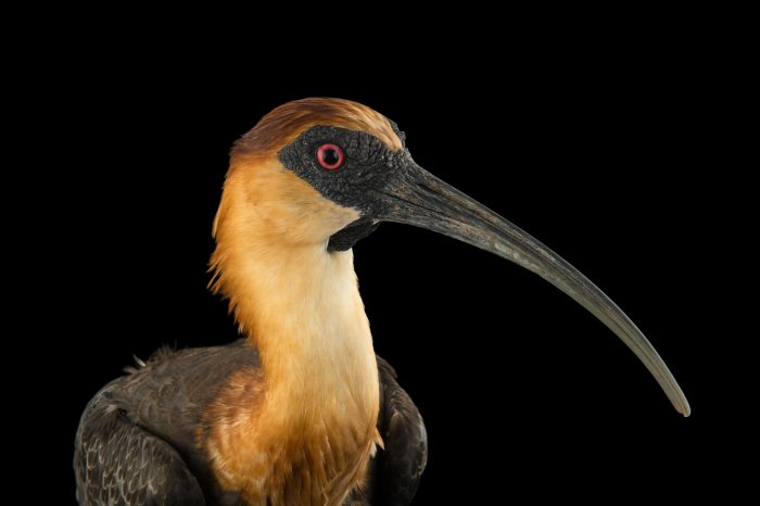 Photo: Buff-necked ibis (Theristicus caudatus) at the National Aviary of Colombia.