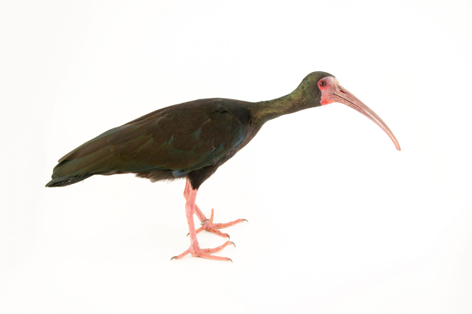 Photo: Bare-faced ibis (Phimosus infuscatus) at the National Aviary of Colombia.
