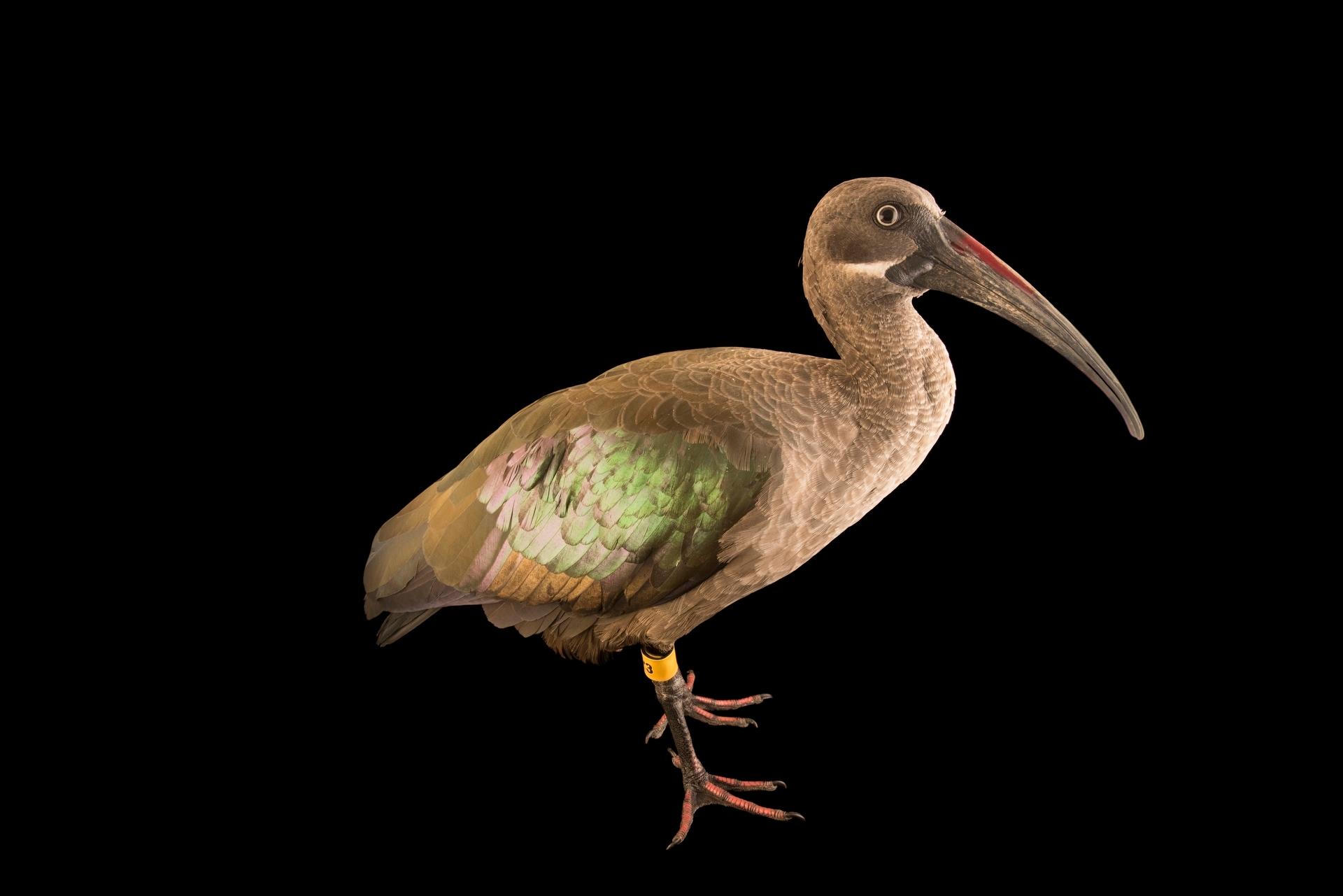 Photo: Hadada ibis (Bostrychia hagedash brevirostris) at the Dallas Zoo.