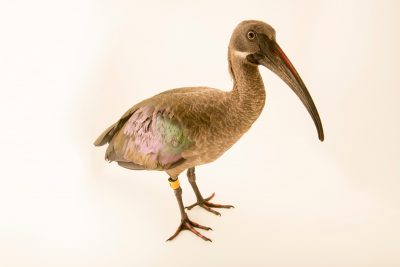 Photo: Hadada ibis (Bostrychia hagedash brevirostris) at the Dallas Zoo.